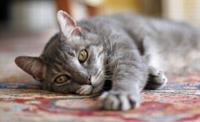 Запах кошачьей мочи на ковре